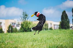 Hund springt in die Luft um die Frisbee aufzufangen