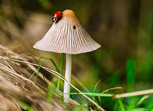Ein kleiner Marienkäfer auf einem braunen Pilz im Gras