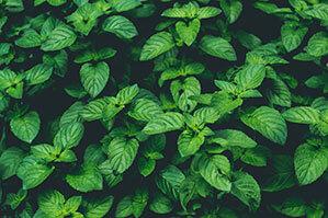 Pfefferminz Pflanzen