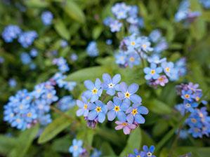 Blaue Veilchen Pflanze