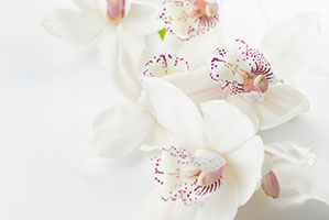 Weiße Blume mit innen rosa