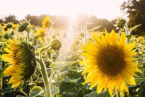 Ein Feld mit Sonnenblumen durch die morgendliche Sonnenstrahlen scheinen