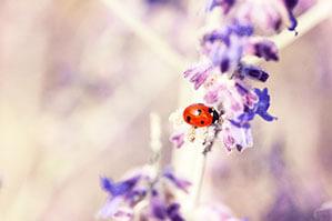 Kleiner Marienkäfer auf einer lila Pflanze